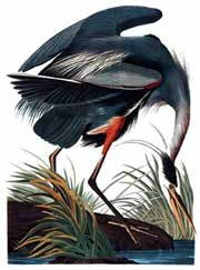 Audubon: Drawn from Nature